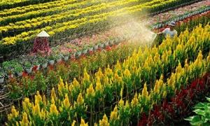 Đến hẹn lại lên, làng hoa Tết Sa Đéc rực rỡ mùa Xuân 2018