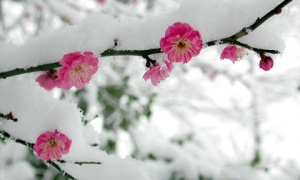 Ngắm đào rừng Sa Pa nở bừng trong băng tuyết