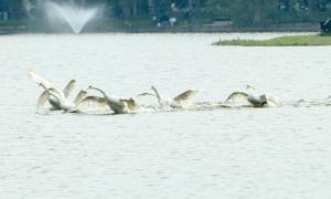 Sao lại coi ngắm thiên nga ở Hồ Gươm là may mắn?