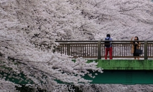 Vẻ đẹp ngất ngây của mùa hoa anh đào Nhật Bản