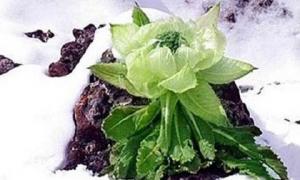 Hoa sen núi tuyết 7 năm mới nở hoa: Tăng sinh lực, 100 triệu/kg