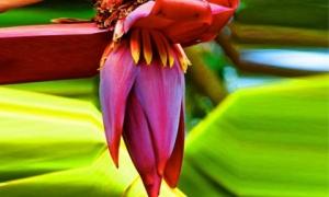Hoa chuối chính là tiên dược chữa bách bệnh, lại giúp bạn ít ốm đau và thọ cực lâu nhưng ít ai biết