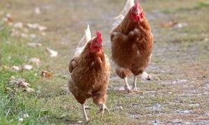 Bi hài kịch: Hàng triệu năm nữa, người đời sau sẽ hiểu rằng Trái đất đang bị thống trị bởi... loài gà