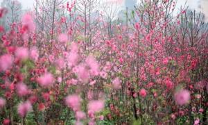 Choáng ngợp với sắc đỏ rực của vựa đào Nhật Tân dịp sát Tết