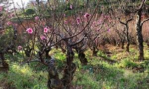 Hoa đào 'má hồng thiếu nữ' 25 cánh độc nhất Việt Nam