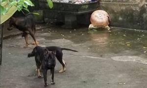 Đàn chó cắn chết bé trai 7 tuổi ở Hưng Yên sẽ bị xử lý như thế nào?