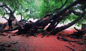 Chiêm ngưỡng sắc đỏ tuyệt đẹp của hoa lộc vừng ngàn năm tuổi ở gò Vình