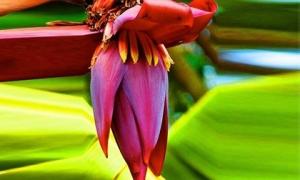Hoa chuối: Ngừa ung thư, chữa nhiều bệnh cực kỳ tốt