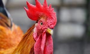 Những bộ phận của gà là thuốc chữa bệnh cực kỳ tốt