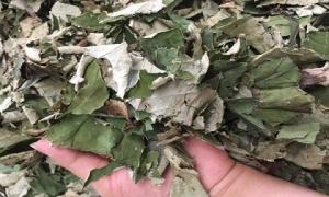 Thứ lá cây tưởng chỉ vứt đi bỗng được săn lùng giá 100.000 đồng/kg