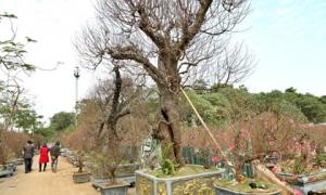 Cây đào trăm tuổi vừa xuống phố Hà Nội đã gặp khách chi gần trăm triệu thuê về chơi Tết Nguyên đán