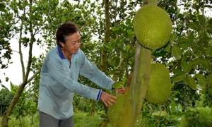 Ở nhà lá, chạy ăn từng ngày bỗng thành triệu phú nhờ trồng quả da sần sùi, đầy gai