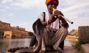 Đằng sau những cái chết do rắn độc cắn ở Ấn Độ: Âm mưu thâm độc và một loại 'vũ khí' mới