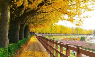 Đường cây rẻ quạt đẹp như trong phim ở Hàn Quốc