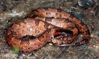 Video: Kỳ lạ loài rắn bị mù màu nhưng cực độc ở Việt Nam