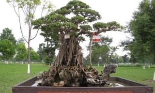 'Siêu cây' 120 tỷ đồng tái xuất ở Hà Nội