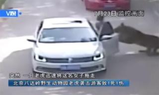 Khoảnh khắc hổ dữ kéo lê, cắn chết người phụ nữ đang mở cửa xe