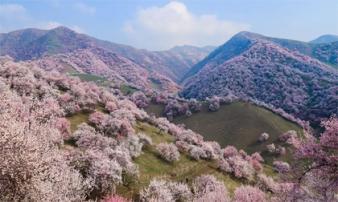Lạc vào chốn bồng lai tiên cảnh ở thung lũng hoa mơ lớn nhất thế giới