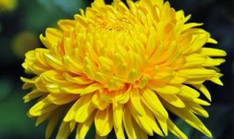 Ngày mùng 1 kiếm loại hoa này bày trên bàn thờ tiền vào như nước gia đình luôn êm ấm hạnh phúc