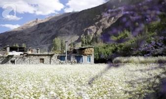 Cánh đồng oải hương và tam giác mạch đẹp như tiên cảnh ở ngôi làng bị lãng quên