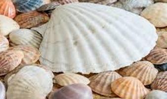 99% người ăn các loại sò đều bỏ đi bộ phận có tác dụng chữa bệnh tuyệt diệu này