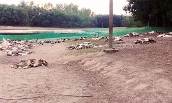 Kẻ tàn độc: Đâm chết cả đàn lợn, đầu độc hơn 1.000 con vịt
