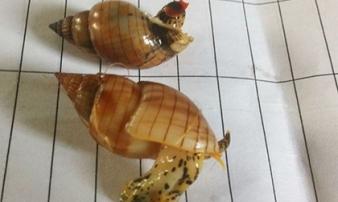 Xác định chất độc từ ốc biển khiến cô giáo ở Bình Định tử vong