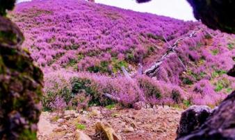 Cưỡi 'sống lưng' Tà Chì Nhù ngắm hoa tím đẹp lịm tim đến mê mẩn