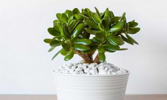 Tiền sẽ ngập két vào 3 tháng cuối năm nếu bạn trồng những loại cây phong thủy này trong nhà