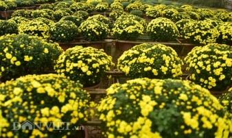 Mê mẩn cánh đồng hoa cúc Sa Đéc giữa lòng Hà Nội
