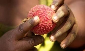 47 trẻ tử vong tại Ấn Độ do thói quen ăn quả vải rất nhiều người Việt cũng mắc phải