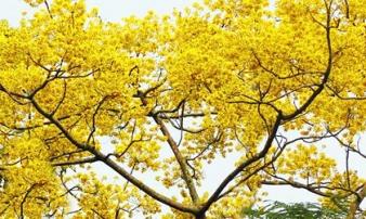 Nơi duy nhất ở Việt Nam chào hè với 5 sắc hoa phượng