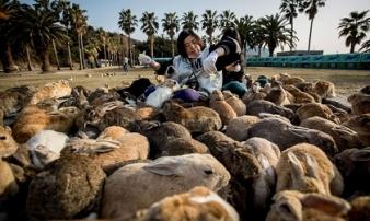Hòn đảo tràn ngập thỏ xinh đẹp của nước Nhật