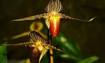 Loại hoa quý như vàng, 15 năm nở một lần, đại gia mơ cũng khó mua