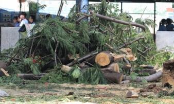 Ai chịu trách nhiệm sau vụ cây đổ đè học sinh tử nạn ở TP.HCM?