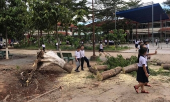 Cây phượng trong sân trường bật gốc, ngã đổ ngay sau khi học sinh ra về