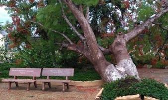 Cây phượng bật gốc ở sân trường tiểu học tỉnh Đồng Nai