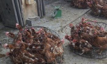 Chị em có nên mua gà giết sẵn ngoài chợ trong thời điểm hiện nay?