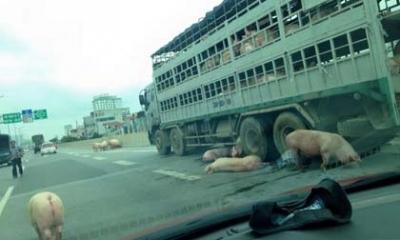 Hà Nội: Hàng chục con lợn xổng khỏi xe tung tăng chạy trên đường cao tốc