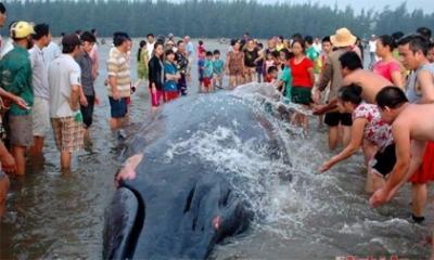 Cá voi khổng lồ mắc kẹt ở bờ biển Nghệ An