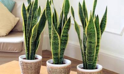 Những loại cây nên trồng trong nhà để loại bỏ độc tố, giúp không khí trở nên trong lành