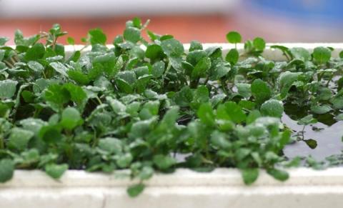 Vô vàn lợi ích từ rau cải xoong được chuyên gia Đông y nhấn mạnh đừng bỏ qua vào mùa đông này - Ảnh 2.