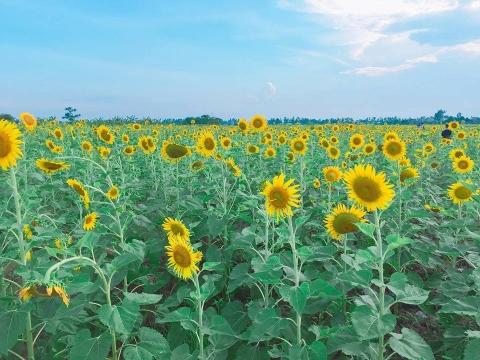 Cánh đồng hoa hướng dương ở Thái Bình hút khách những ngày đầu hè - 11