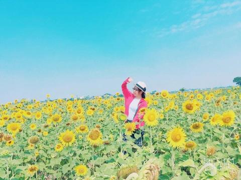Cánh đồng hoa hướng dương ở Thái Bình hút khách những ngày đầu hè - 5