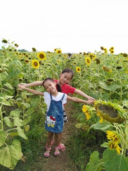 Cánh đồng hoa hướng dương ở Thái Bình hút khách những ngày đầu hè - 9