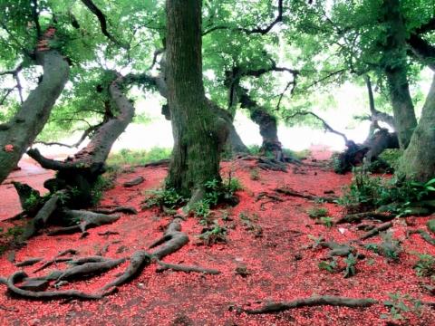 Chiêm ngưỡng sắc đỏ tuyệt đẹp của hoa lộc vừng ngàn năm tuổi ở gò Vình - 5