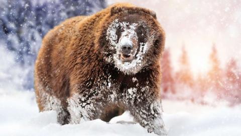 'Cocaine Bear': Chuyện về chú gấu đen đủi ăn hết hơn 30 cân ma túy, những gì xảy ra sau đó đã đi vào huyền thoại