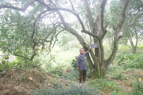 Kỳ lạ vườn bưởi trăm tuổi ở Phú Thọ