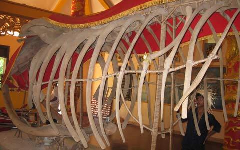 Ngắm bộ xương cá voi 'khủng' ở Hòn Đá Bạc