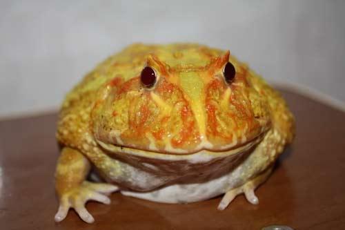 'Nóng' trào lưu nuôi ếch 'ngoài hành tinh' của giới trẻ